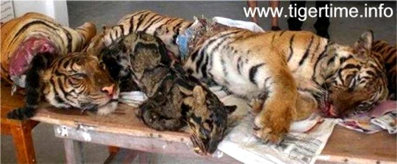 Felinita tigre news 7 - Colorazione pagina di tigre ...